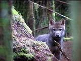 Rainforest Wolf